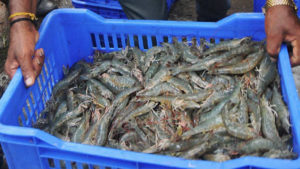 aquaculture development and enhancement programme